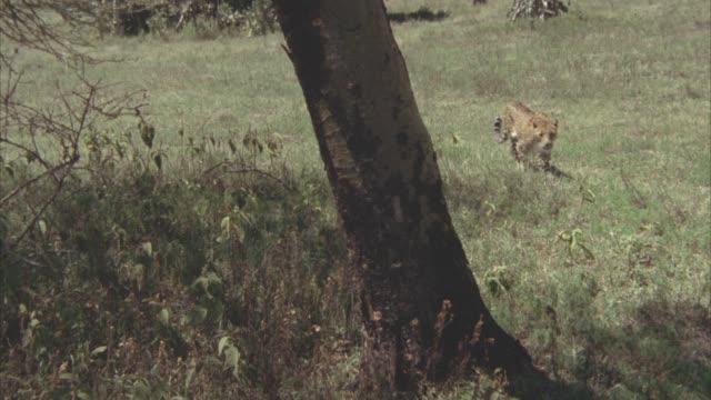 vídeos y material grabado en eventos de stock de wide angle of a leopard walking through grassy field or veldt. tree trunk in fg. neg cuts. - felino grande