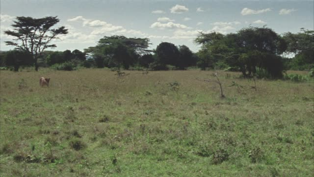 wide angle of a lioness walking through grassy field, plain or veldt with trees in bg. lioness has blood on its fur. lioness walks past man holding a gun and into tent. campground. - 1974 bildbanksvideor och videomaterial från bakom kulisserna