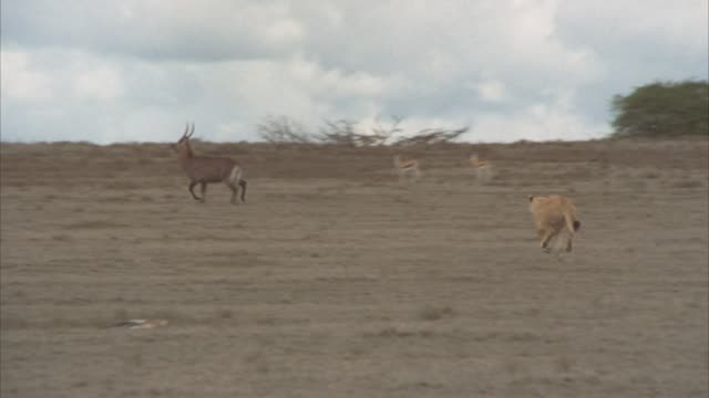 wide angle of a lioness running across serengeti, plains, or veldt with a tree in bg chasing a heard of african bush buck and gazelles. - 1974 bildbanksvideor och videomaterial från bakom kulisserna