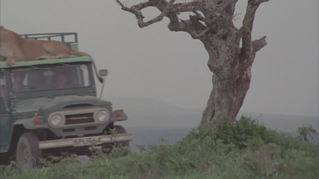 LS VELDT SERENGETI PLAINS WITH OVERCAST SKY GREY GRAY SKY STORM WEATHER /  TREE IN FG / GREEN TRUCK DRIVES L-R / LIONESS SITTING ON TOP OF TRUCK / TWO PEOPLE INSIDE / CMI TO LIONESS