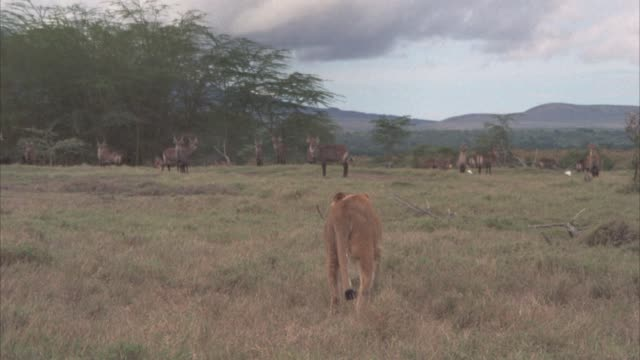 wide angle of a lioness walking across serengeti, plains, or veldt with a tree in bg toward a heard of african bush buck. - 1974 bildbanksvideor och videomaterial från bakom kulisserna