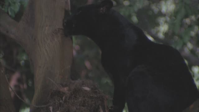 CLOSE ANGLE OF PANTHER OR BLACK WILDCAT CLIMBING UP TREE BRANCHES IN JUNGLE.