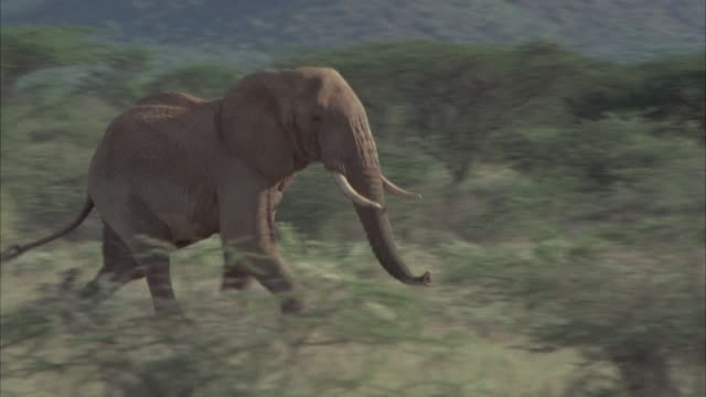 vídeos de stock, filmes e b-roll de pan right to left of elephant running in grassland or savannah. grass, trees and bushes or shrubs. could be on wildlife safari. - elefante