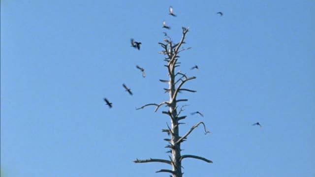 vidéos et rushes de up angle of top of bare tree. medium angle of birds flying and landing on tree ranches. - bare tree
