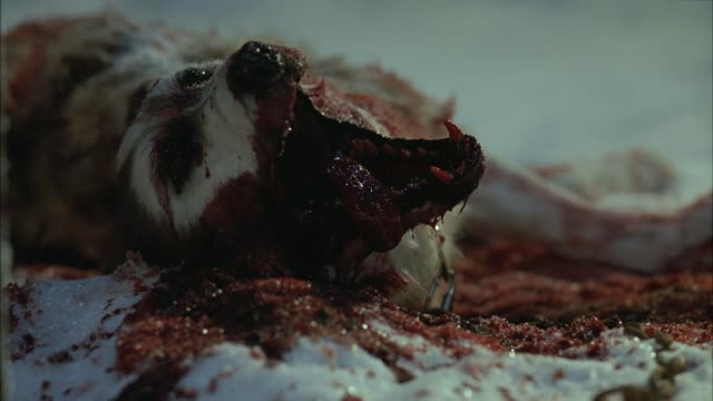 close angle of dead wolf in blood and snow. dead animals and dogs. gore. - blood stock videos & royalty-free footage