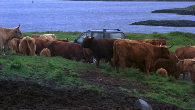 wide angle of small suv on dirt road surrounded by highland cattle. rain and cloudy sky. mountains and lake in bg. - cattle stock videos & royalty-free footage
