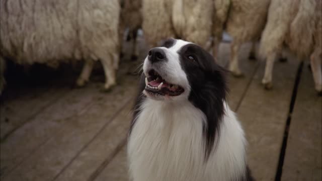 vídeos de stock, filmes e b-roll de medium angle of border collie sheep dog sitting on wood plank platform or bridge near herd of sheep. could be on ferry. animals. - cão pastor