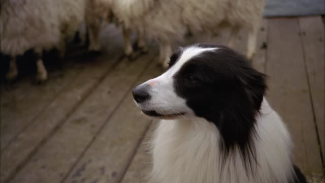 vídeos y material grabado en eventos de stock de medium angle of border collie sheep dog sitting on wood plank ferry near herd of sheep. animals. - oveja mamífero ungulado