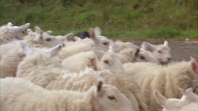 hand held of herd of sheep with lambs blocking country road. shepherd and border collie sheep dog herding. rolling hills of scottish landscape in bg. animals. - border collie stock videos & royalty-free footage