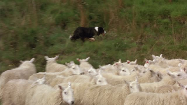 HAND HELD OF BORDER COLLIE SHEEP DOG HERDING SHEEP BACK TO HILLS AND OUT OF COUNTRY ROAD. HERDS. ANIMALS.