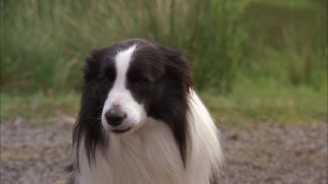 MEDIUM ANGLE OF BORDER COLLIE SHEEP DOG SITTING ON COUNTRY ROAD NEAR HILLS OR COUNTRYSIDE.