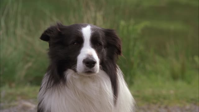 medium angle of border collie sheep dog sitting on country road near hills or countryside. - sheepdog stock videos & royalty-free footage
