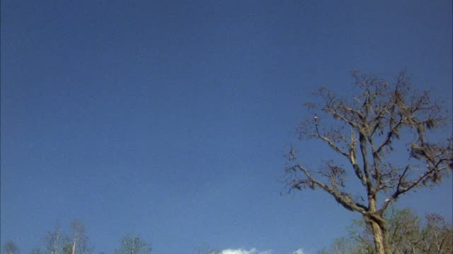 stockvideo's en b-roll-footage met medium up angle of sky of forest. see edges of bare tree branches. two bird fly across and land in main tree in center foreground. - bare tree