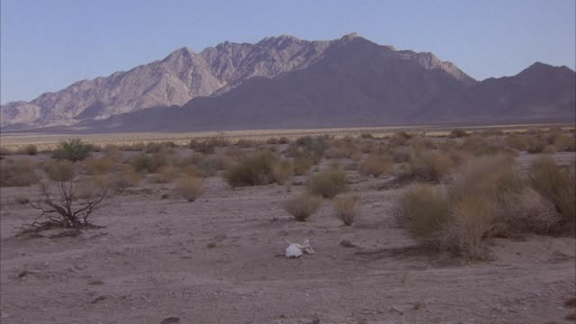 wide angle of desert horizon with shrubs. skull of animal or bull or cow in center, mountains in background. - animal skull stock videos and b-roll footage