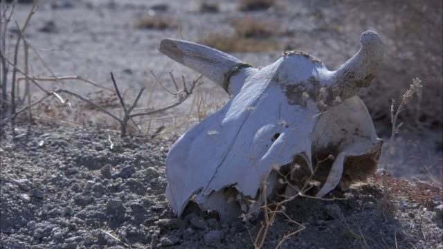 close angle of skull of animal or bull or cow, desert sand and shrubs in background. insert. - 骨点の映像素材/bロール