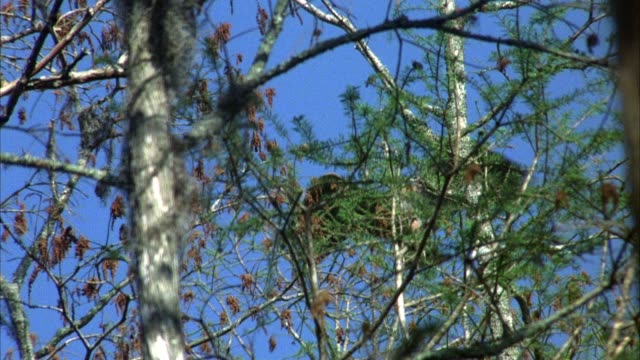 stockvideo's en b-roll-footage met medium up angle of pelican flying through trees and landing on tree. tree branches in foreground. trees are bare, most likely during winter. windy. - bare tree