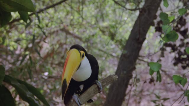 stockvideo's en b-roll-footage met medium angle of toucan bird on branch in jungle, bird looks at frame. pans slightly right at end to see group of people hiking through jungle. - colombia land