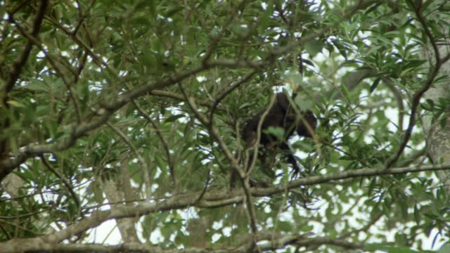 vidéos et rushes de tracking shot of monkey in tree, he moves around to right, then jumps down to ground behind foliage. could be in jungle. neg cut. - colombie
