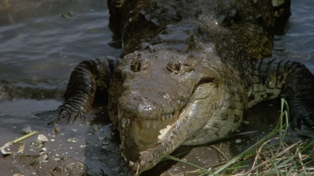 medium angle of alligator or crocodile in muddy water. animal slowly opens mouth or jaws, then closes them and moves to right into shade. - animal mouth stock videos & royalty-free footage