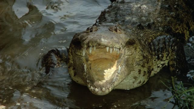 medium angle of alligator or crocodile with open mouth in shallow water. zooms in as animal closes mouth or jaws. - animal mouth stock videos & royalty-free footage