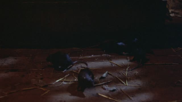 medium angle of black mice on ground, some straw on ground, could be inside barn. mice move around in frame. trunk or box in back of frame. mouse. - barn stock videos & royalty-free footage