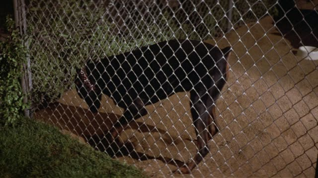 medium angle of chain link fence cage or dog enclosure with dirt floor and white food dish inside. see lawn and small plants outside cage. see doberman with spiked collar emerge from frame right and start digging hole in dirt at cage front. neg cut. could - wire mesh fence stock videos & royalty-free footage