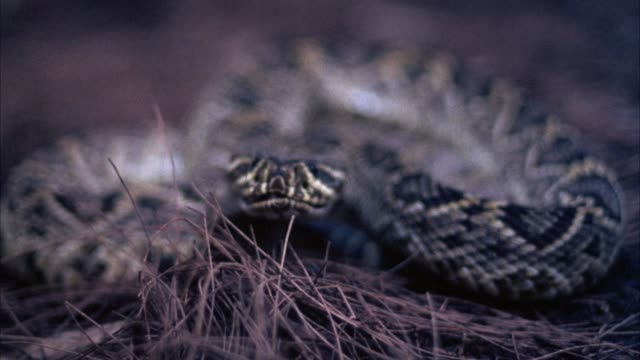 close angle of brown and yellow snake with diamond patterns on skin, coiled in brown grass. could be rattlesnake. snake flicks tongue in and out, then strikes towards pov. - viper stock videos & royalty-free footage