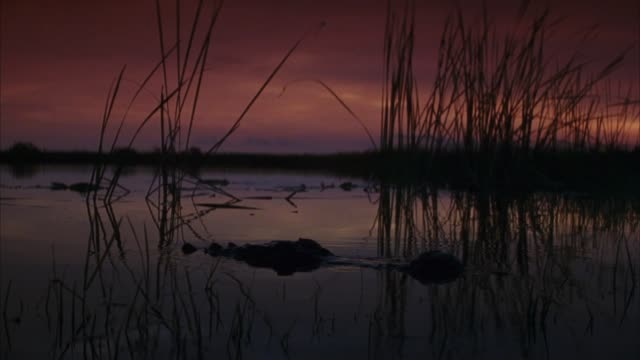 vídeos de stock, filmes e b-roll de medium angle of swamp or marsh at daybreak. see top of alligator head slowly emerge and float on the surface. see alligator submerge beneath the surface. see reeds. - pântano salgado