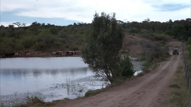 pan right to left of green land rover traveling on dirt road by side of river. see cattle drinking at side of river at bottom of small hill. see german shepherd in land rover. see african cow herder with cattle. - land rover stock videos and b-roll footage