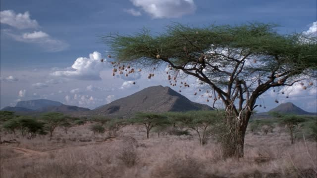 wide angle of african safari plains with long dry grass and trees. looks like acacia tree. see large acacia tree in right foreground. see vintage powder blue range rover drive away from pov on dirt road at left. - acacia tree stock videos & royalty-free footage