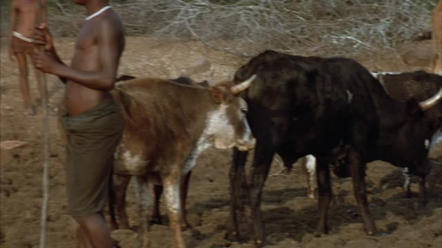 medium angle pan right to left of cattle or herd of bulls in savannah area. pans left to group of african children in front of branches of bushes. - bull animal stock videos & royalty-free footage