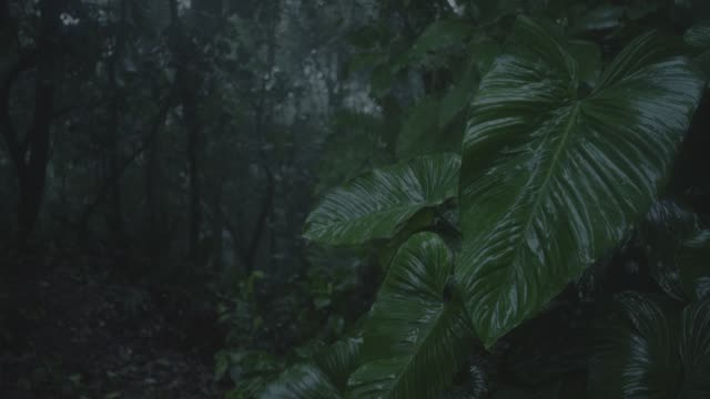 close angle of leaves in rain in jungle, rainforest, forest, or woods. trees visible in bg.  wind blows. could be storm. - 雨林点の映像素材/bロール