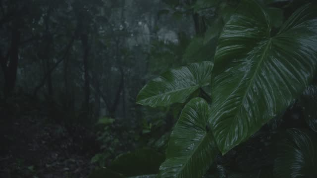 close angle of leaves in rain in jungle, rainforest, forest, or woods. trees visible in bg.  wind blows. could be storm. - 中央アメリカ点の映像素材/bロール