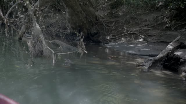 close angle of baby crocodile swimming in water. could be river, lake, or creek. tree branch or fallen tree visible in water. could be jungle or rainforest. river bank visible. - fallen tree stock videos and b-roll footage