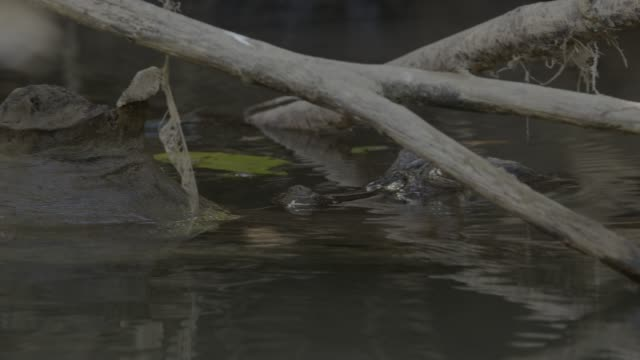 stockvideo's en b-roll-footage met close angle of crocodile partially visible in water. could be lake, river, stream, or creek. tree branches or fallen tree visible. could be jungle, forest, or rainforest. - krokodil
