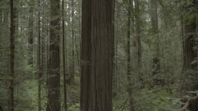 PAN LEFT TO RIGHT MEDIUM ANGLE OF REDWOOD TREES IN WOODS OR FOREST.