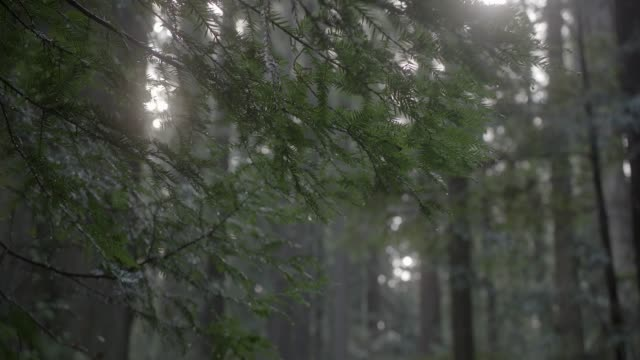 stockvideo's en b-roll-footage met close angle of branches of pine tree. water or dew visible on tree. could be woods or forest. sunlight visible coming through branches. - naaldbos