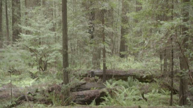 pan down from trees to wide angle of person in jumpsuit running through woods or forest towards camera. person jumps over fallen trees.  stunts. ferns and plants visible. - jumpsuit stock videos and b-roll footage