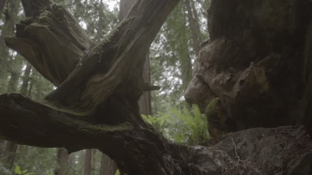 close angle of tree stump, branches, or fallen tree. could be in woods or forest. ferns and plants visible. - 2013年点の映像素材/bロール