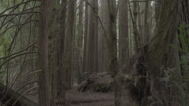 MEDIUM ANGLE MOVING POV OF TREES IN WOODS OR FOREST. MOSS, PLANTS, AND FERNS VISIBLE.