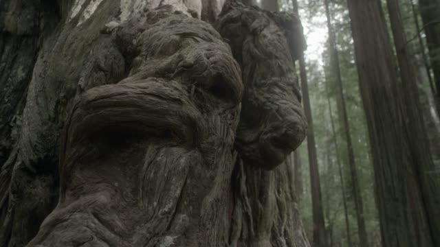 close angle of knots or roots in base of tree. could be forest or woods. - ceppaia video stock e b–roll