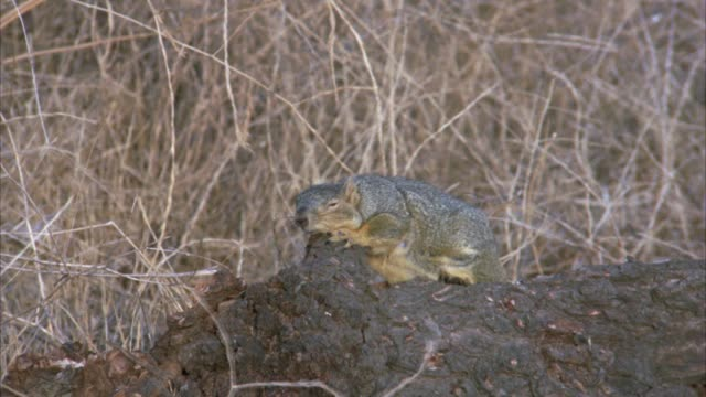 CLOSE ANGLE OF A SQUIRREL SITTING ON A LOG WITH BROWN GRASS IN BG. WIND BLOWING GRASS.