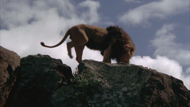 vídeos y material grabado en eventos de stock de up angle of male lion walking or climbing across cliffs or  rocks. - felino grande