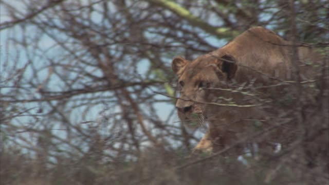 close angle of a lioness running through tall grass toward thicket, bushes or brush. - copse stock videos and b-roll footage