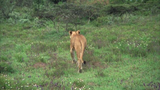 vídeos y material grabado en eventos de stock de wide angle of a lioness walking through grassy field with wildflowers and bushes, brush in bg. - felino grande