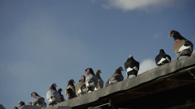 close angle of pigeons on ledge or roof. could be rooftop. - ledge stock videos & royalty-free footage