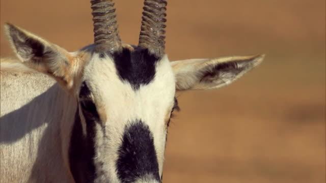 petra - jordan - antelope stock videos & royalty-free footage