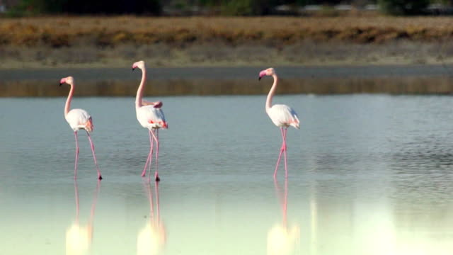 flamingo - flamingo bird stock videos & royalty-free footage