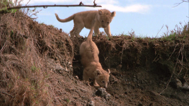 medium angle of two lion cubs playing in grassy area or field. could be savannah or veldt. lions run down from embankment. - embankment stock videos & royalty-free footage