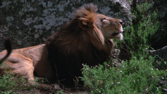 vidéos et rushes de close angle of a lion lying on ground in front of a rock or boulder. plants in fg. - boulder rock